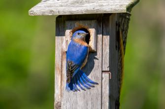 Backyard-Bluebird