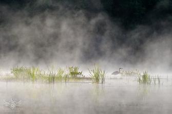 Heron in the Mist