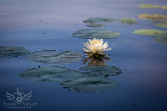 Morning-Water-Lily