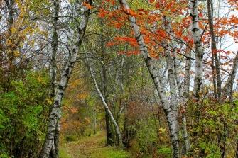 Bog Meadow Birches in Autumn