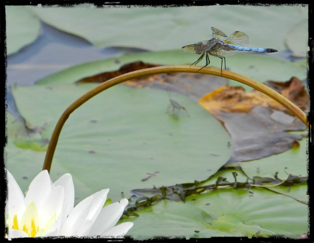 Dragonflies in December