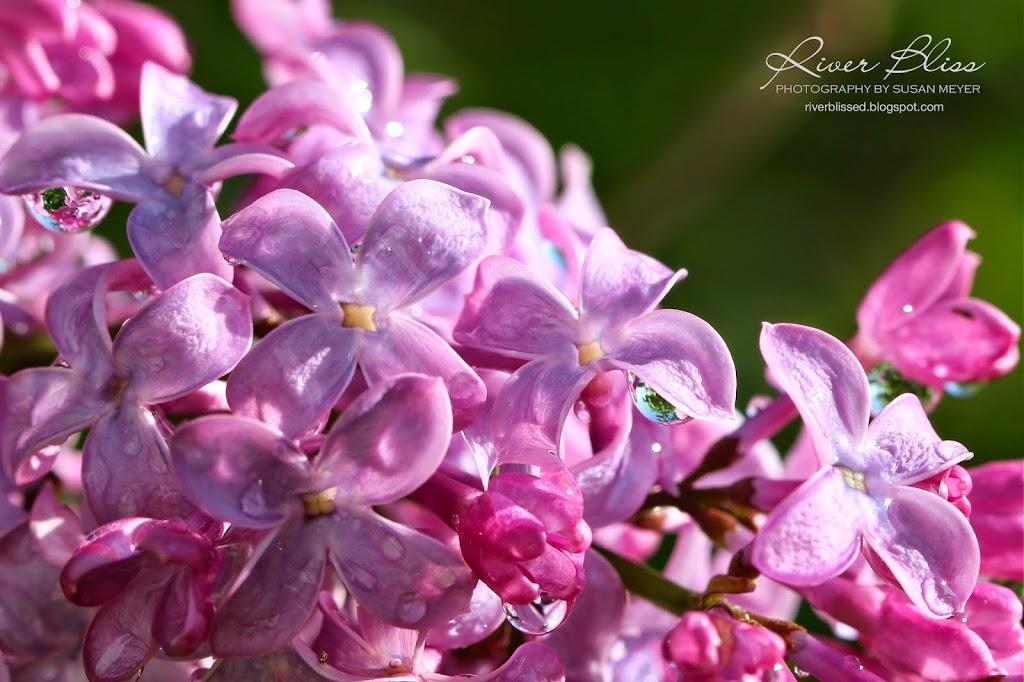 Lilac Raindrop Sermon