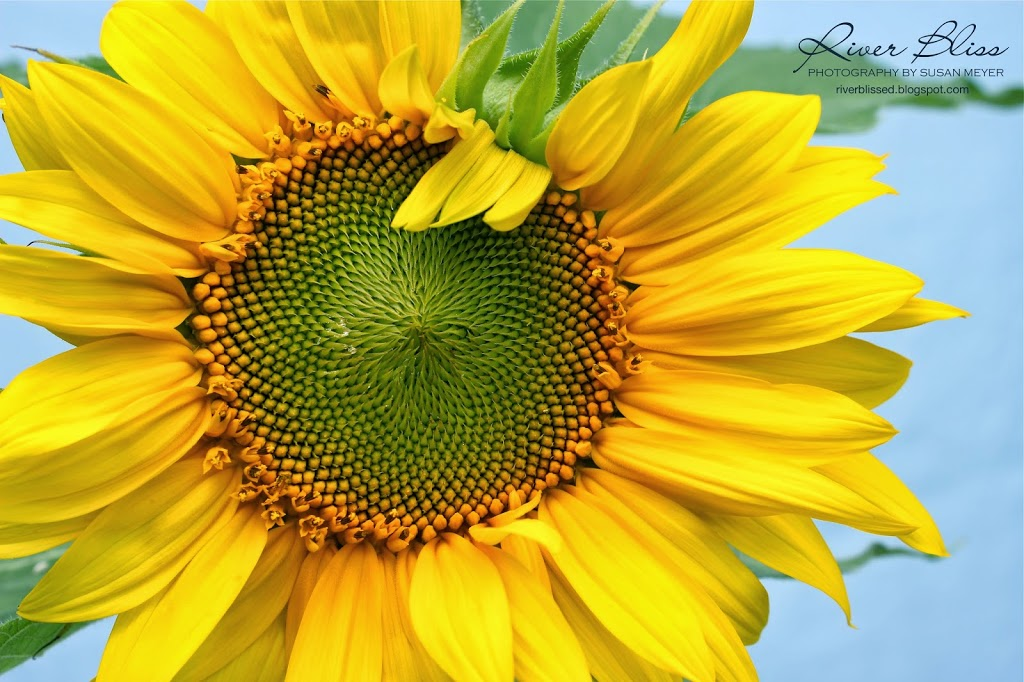 A Sunflower Curriculum