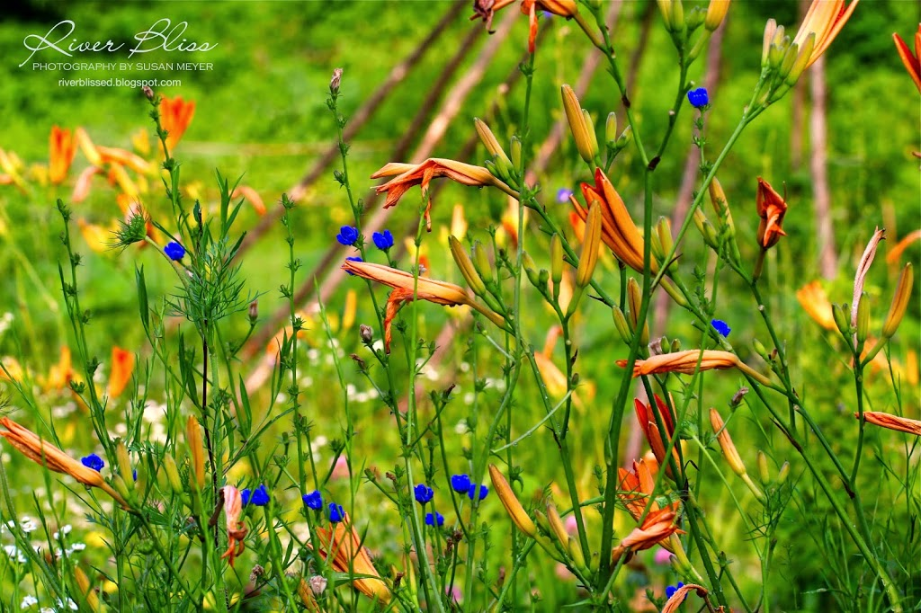 Overheard in a Field of Daylilies