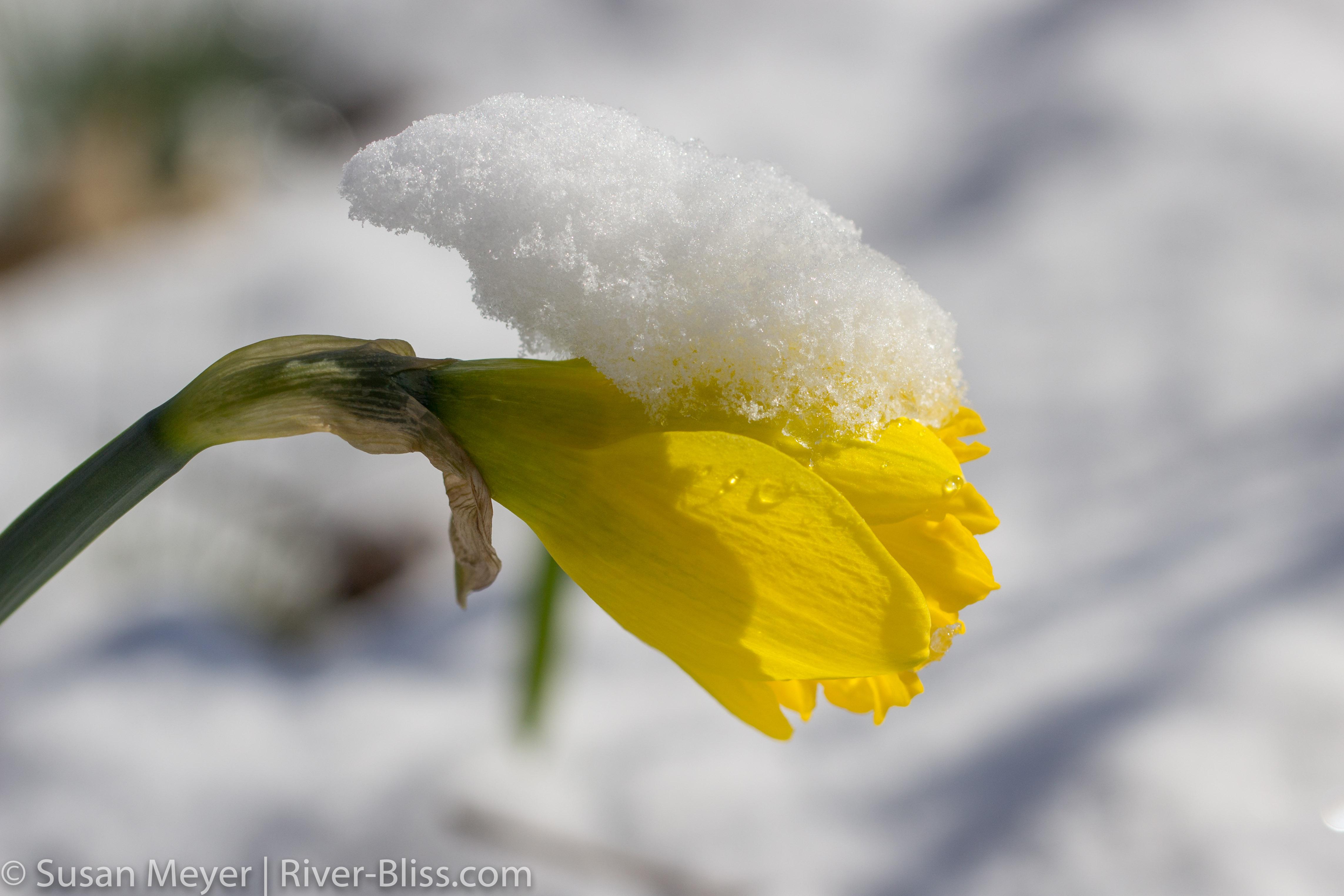 Daffodils-5