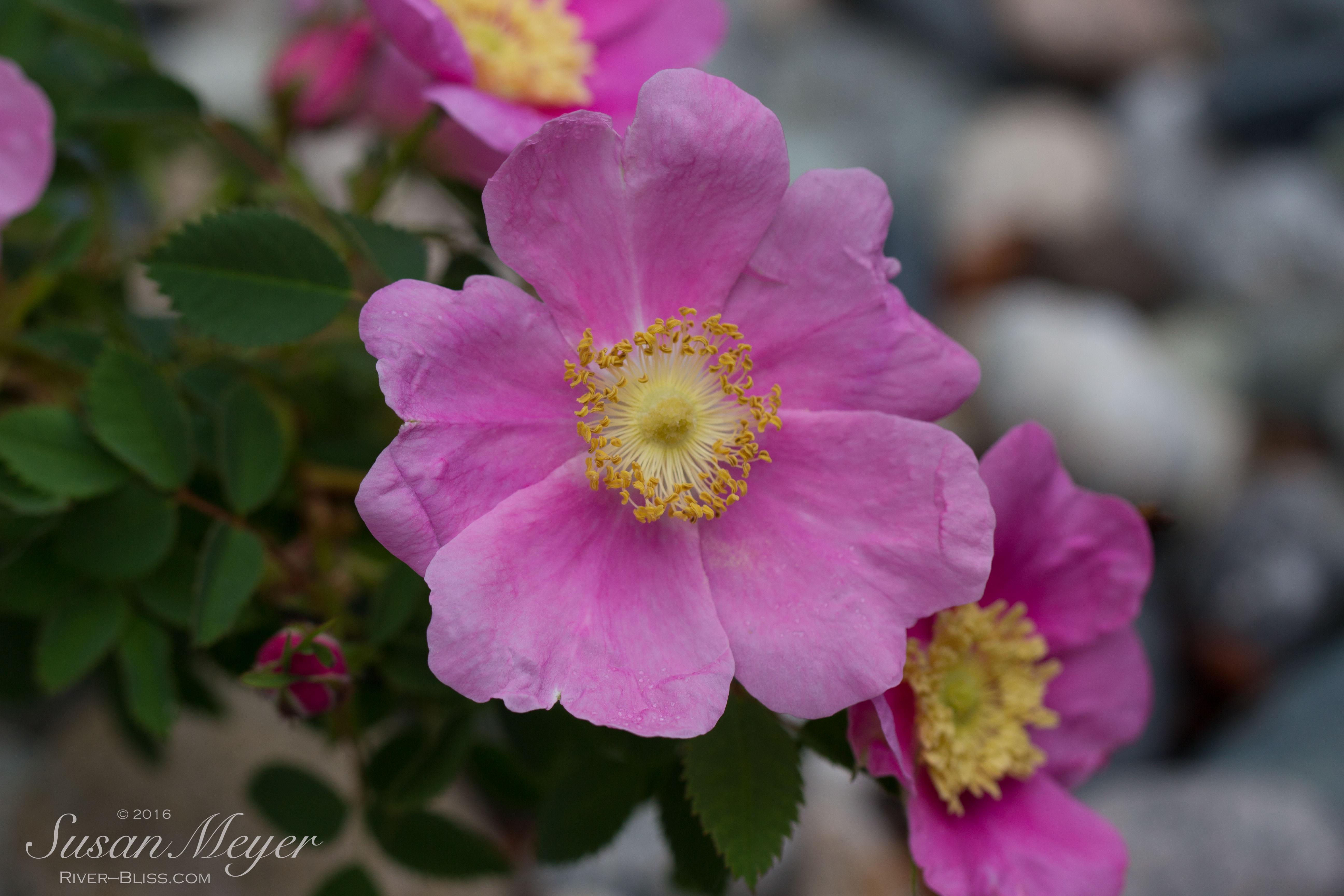 Nootka Roses