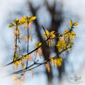 Budding Maples