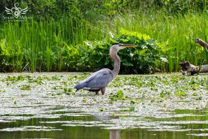 Great Blue Heron in Fish Creek