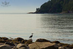 Heron on the Sunshine Coast