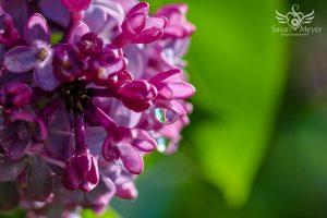 Lilac Sunrise Dewdrop Reflection