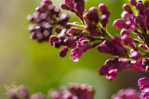 Sunrise Dewdrop on a Lilac Blossom
