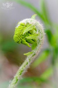 Wooly Fern Crozier