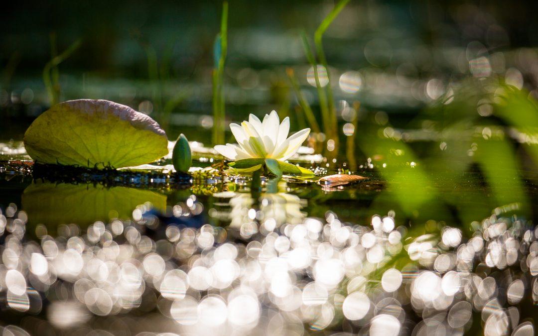 Water Lily Wisdom